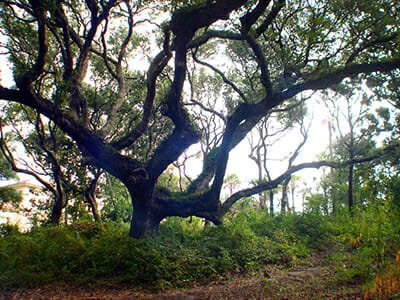 Giant live oak at Amelia Island Plantation in Florida