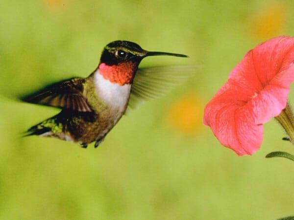 Hummingbird_flower 54
