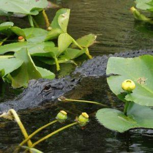 FL_Alligator