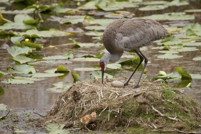 Sandhill Crane on Nest with Chick and Egg