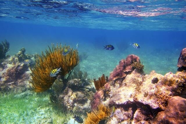 Sergeant Major fishes in caribbean reef Mexico