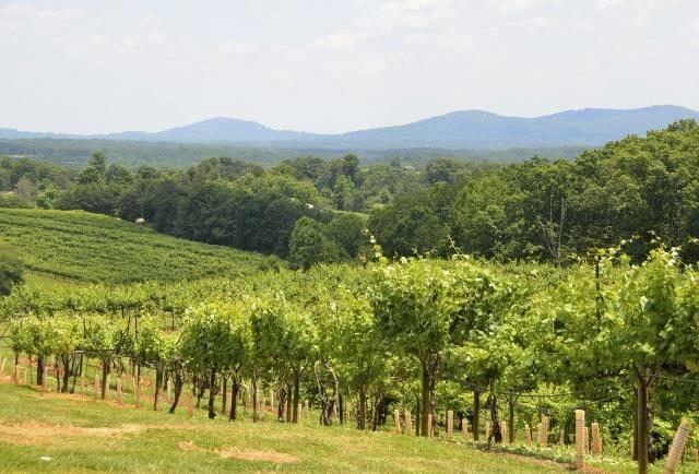 Vineyard at north Georgia