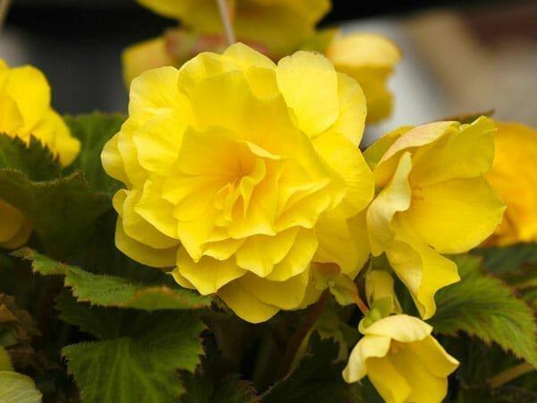 5_Begonias
