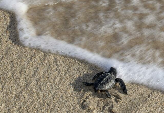 Baby Turtle Reaching the Water