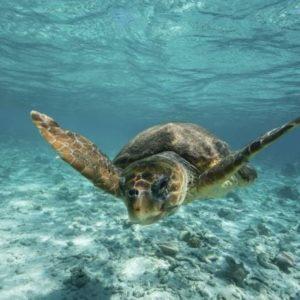 Adult Sea Turtle