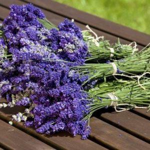 Gardening, fresh Lavender