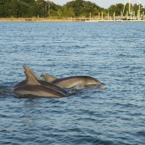 6 Reasons Nature Lovers are Nuts About Charleston, SC! - Barrier Islands Dolphins