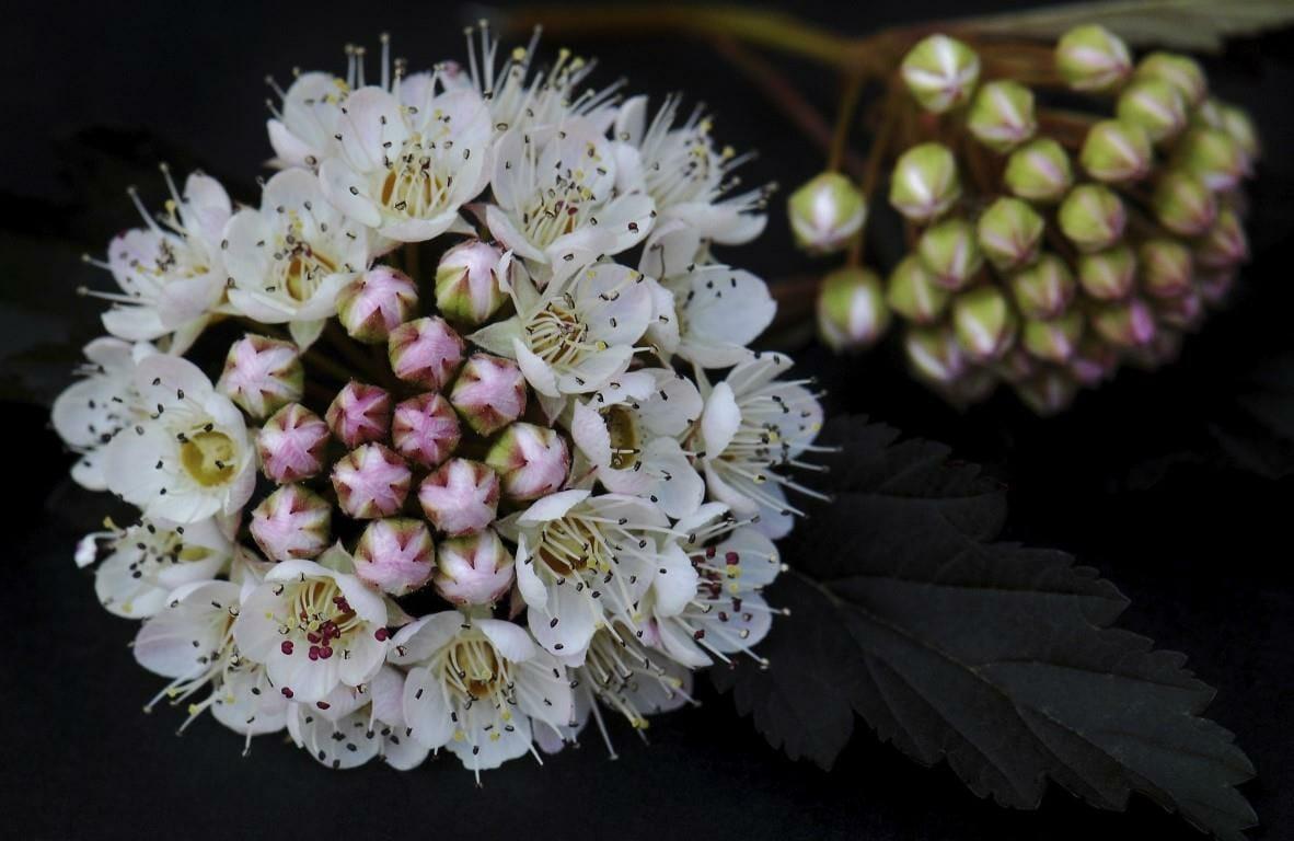 Ninebark In Bloom