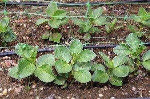 Gardening Tips - Garden Cover Crops - Fava Beans