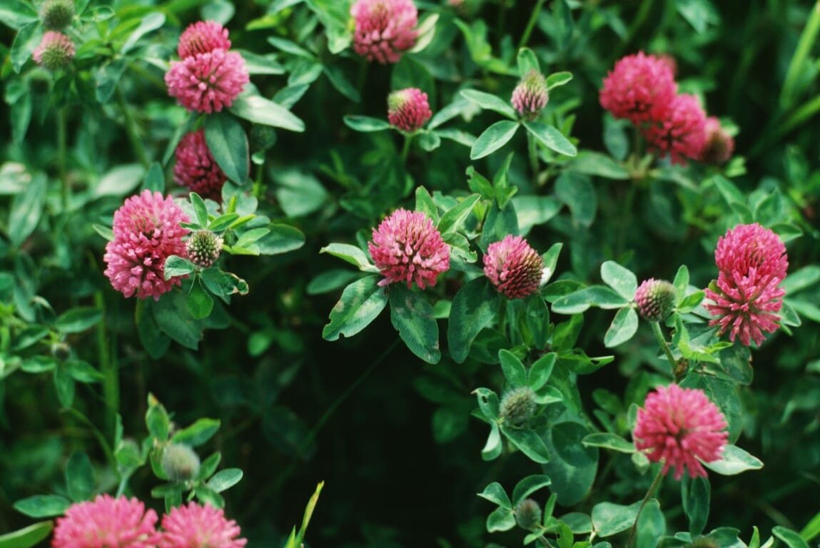 Red clover in bloom