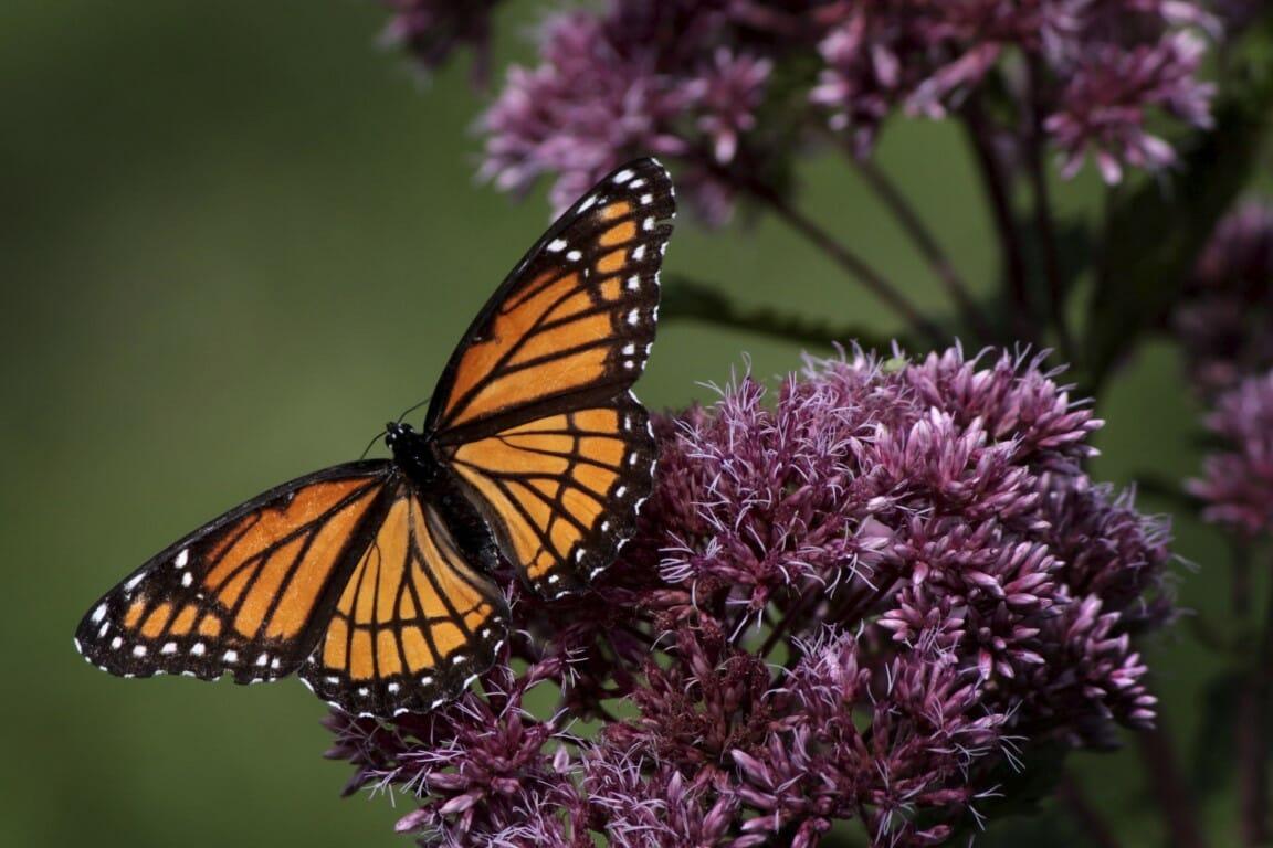 Papillon en solitude