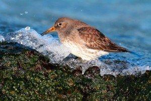 Best Places to Retire in North Carolina - Beacon Townes - Calabash NC - Bird Island - Purple Sandpiper