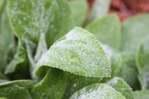 Changing Climate - Lamb's Ear - Plants to plant in drought