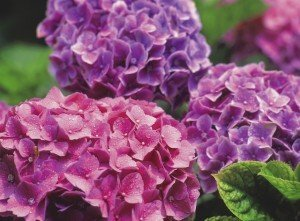 Plants adapted to wide range of climate - Hydrangeas