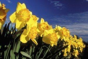 Daffodils - Spring flower