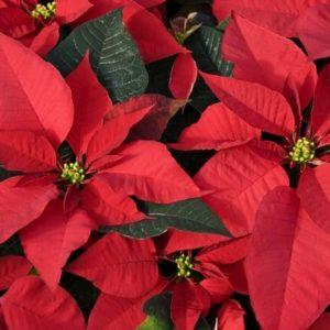Christmas - Poinsettias
