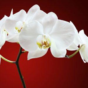Gardening Tips - Winter Gardening Tips - Orchid