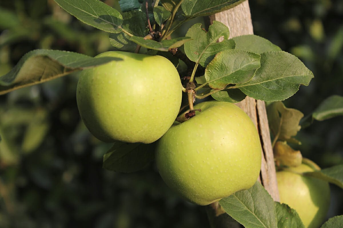 iStock_000047760868_apples