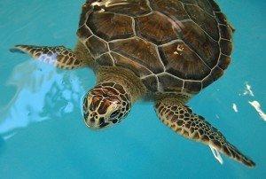 Georgia Sea Turtle Centerlo