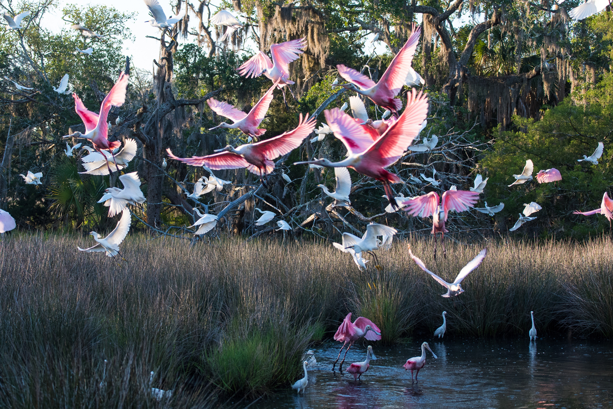 Birds of Jekyll Island